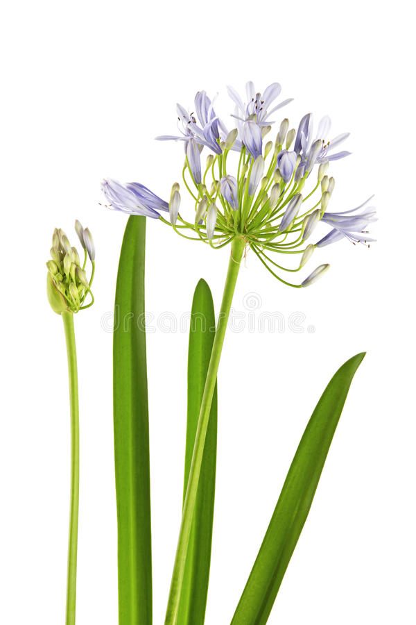 Agapanthus flower isolated on white background. Agapanthus flower or Lily of the Nile are blooming which attached bud and leaves, isolated on white background royalty free stock photography
