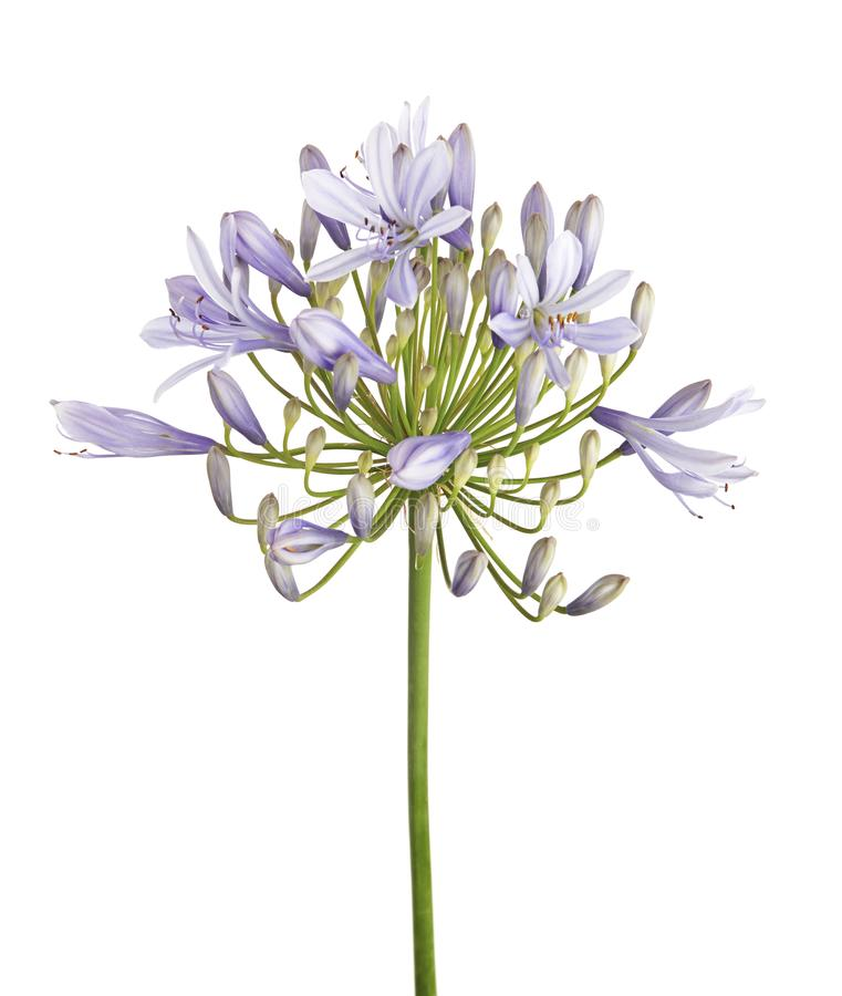 Free Agapanthus Flower `Lily Of The Nile`, Also Called African Blue Lily Flower, In Purple-blue Shade Isolated On White Background Stock Photo - 109061450
