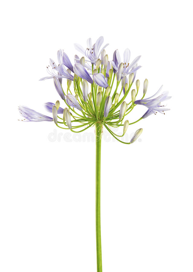 Free Agapanthus Flower `Lily Of The Nile`, Also Called African Blue Lily Flower, In Purple-blue Shade Isolated On White Background Stock Photo - 99170790