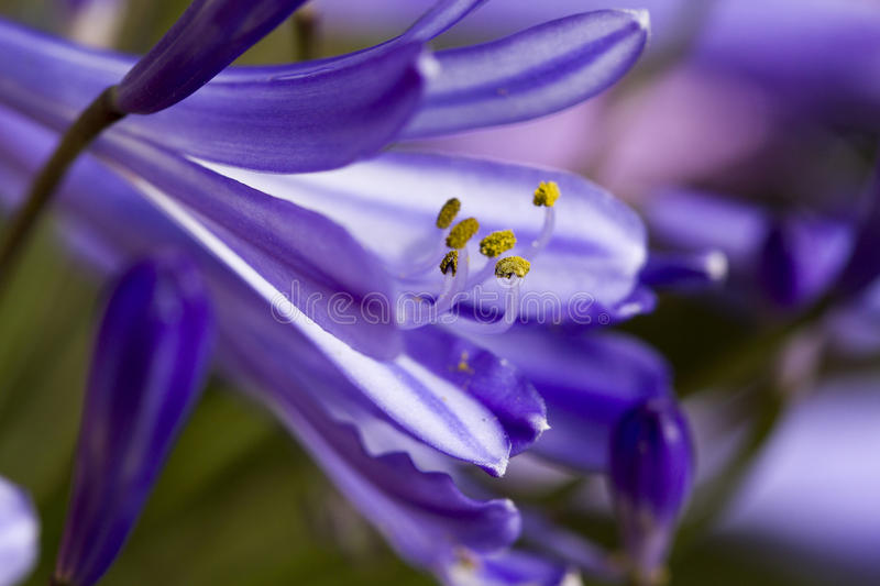 Agapanthus Flower. Purple Agapanthus flowers blooming in a garden in spring royalty free stock photo