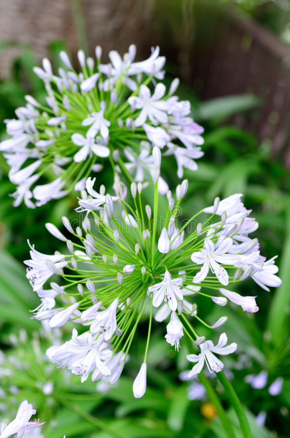Agapanthus flowers. The flower of summer which attached the petal and the bud royalty free stock photography