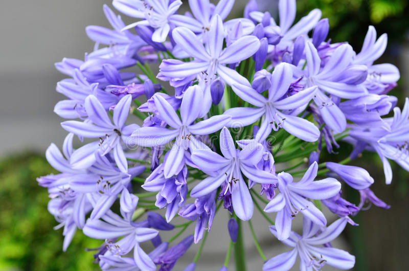 Agapanthus flowers. The flower of summer which attached the petal and the bud royalty free stock images