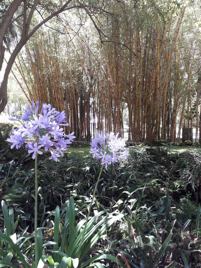 Agapanthus flowers. Bamboo, tropical, garden royalty free stock photography