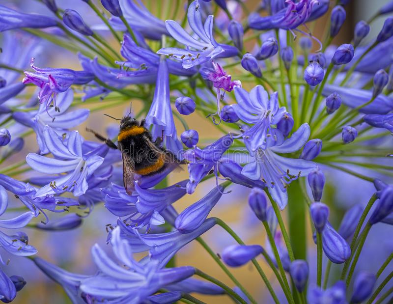 Agapanthus honey pot. Close up picture of a blue agapanthus with a bee collecting pollen stock photos