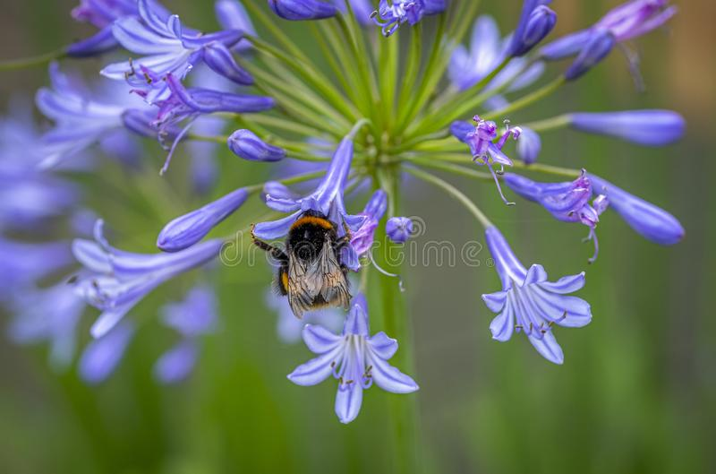 Agapanthus honey pot. Close up picture of a blue agapanthus with a bee collecting pollen royalty free stock photo