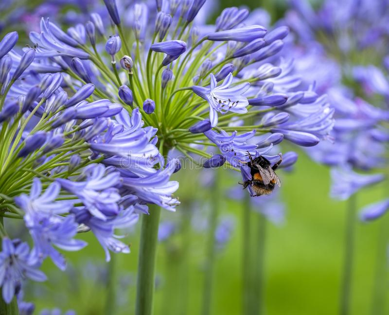Agapanthus honey pot. Close up picture of a blue agapanthus with a bee collecting pollen royalty free stock image