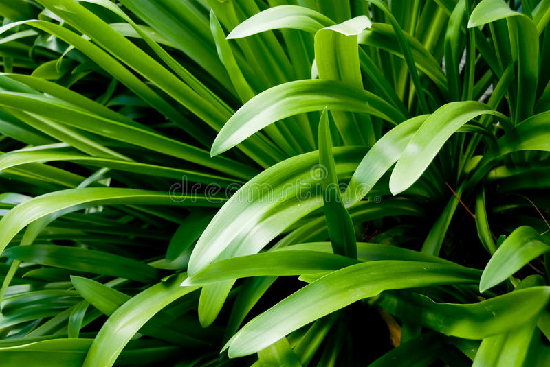 Agapanthus leaves. Green agapanthus foliage in garden royalty free stock image