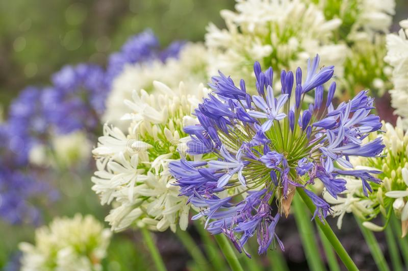 Striking Blue and White Agapanthus Flowers. Agapanthus or Lily of the Nile are very hardy plants and drought tolerant. Agapanthus is the flower of summer and its royalty free stock photography