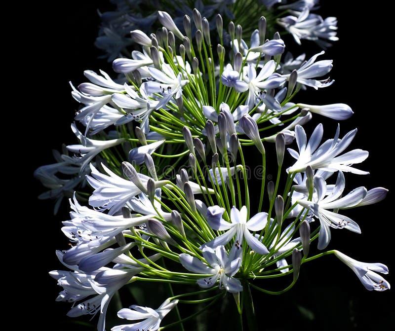 Agapanthus o Lily Of The Nile fotografia stock libera da diritti