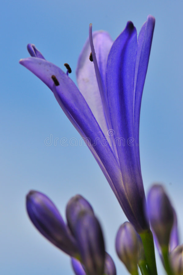 Agapanthus Series 15. Macro photography of the agapanthus flower which originates from south africa stock photography