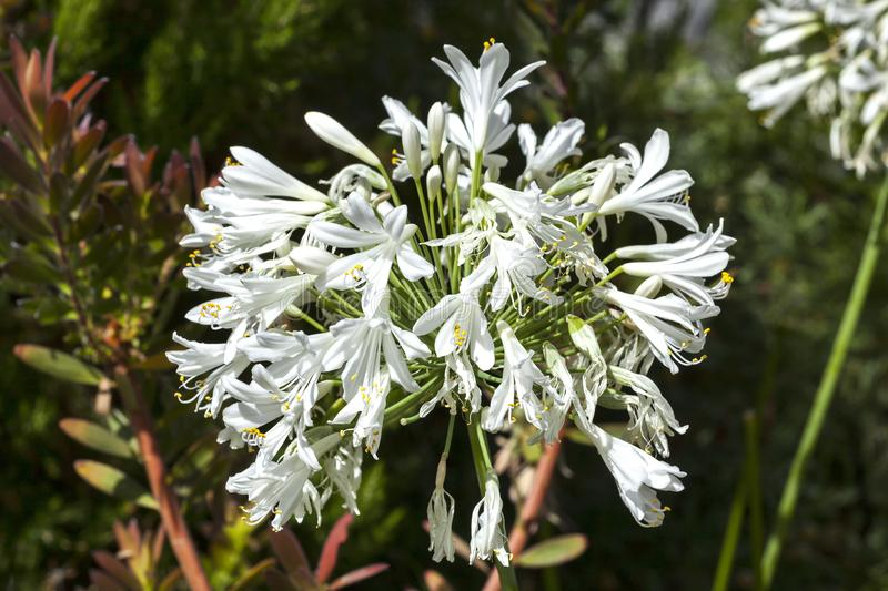 Agapanthus white. Agapanthus which are either blue or white are an herbaceous springtime summer flower plant commonly known as lily of the Nile or African lily royalty free stock image