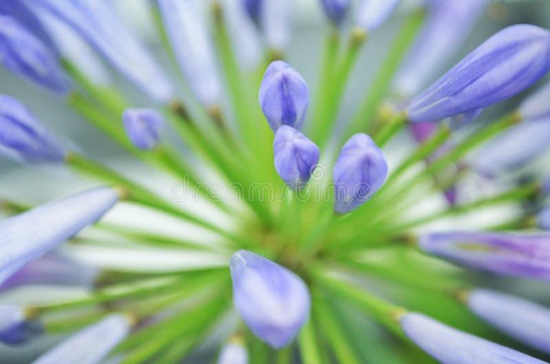 Agapanto-Blume lizenzfreies stockfoto