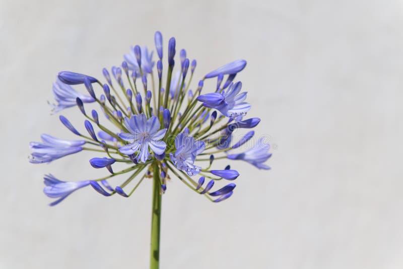 Agapantu kwiat w błękicie obraz stock