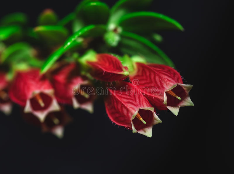 Agapetes royalty free stock photography