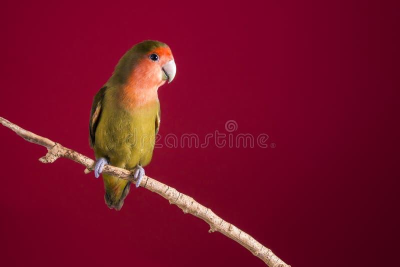 Agapornis di piccioncino su un ramo sopra un fondo rosso fotografia stock libera da diritti