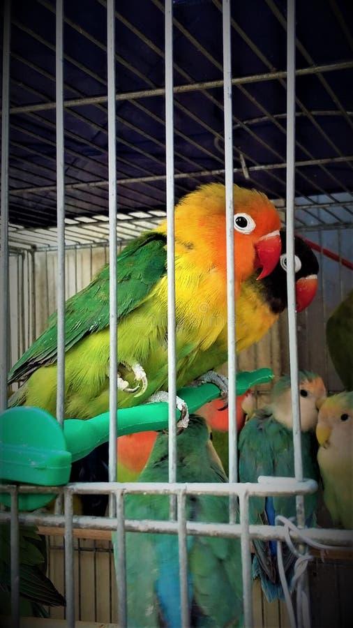 Agapornis fischeri - lovebird obrazy royalty free