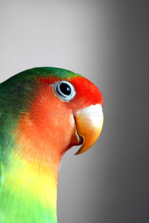 Download Agapornis macro stock image. Image of fisheri, bird, colors - 6197287