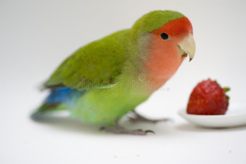 Agapornis, uccello di amore immagini stock