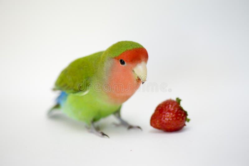 Agapornis, uccello di amore fotografia stock libera da diritti