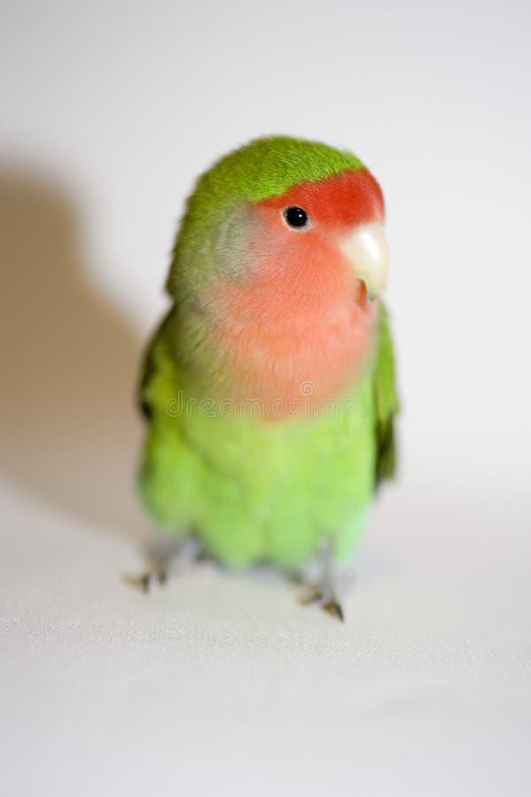 Agapornis, uccello di amore immagini stock libere da diritti
