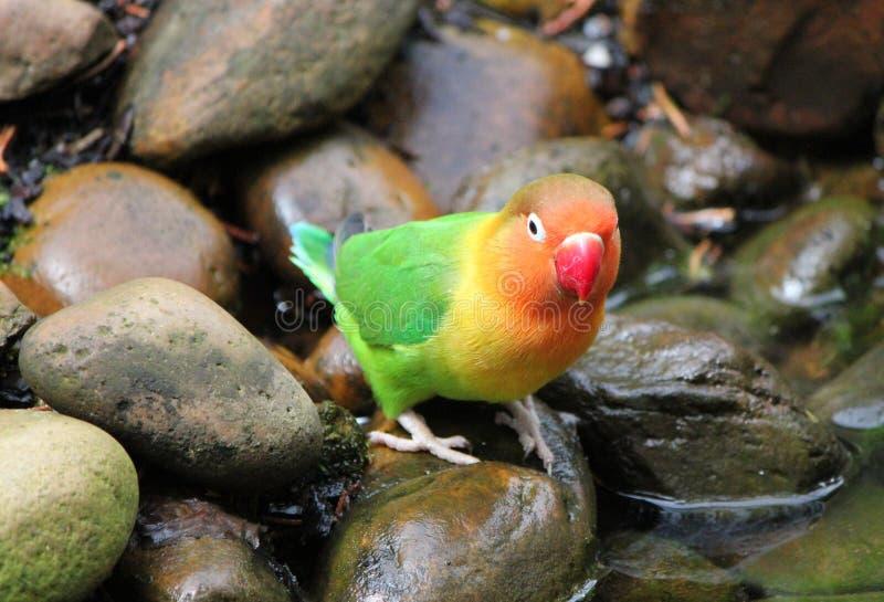 Agapornisvogel, der auf einem Stein steht lizenzfreie stockfotografie