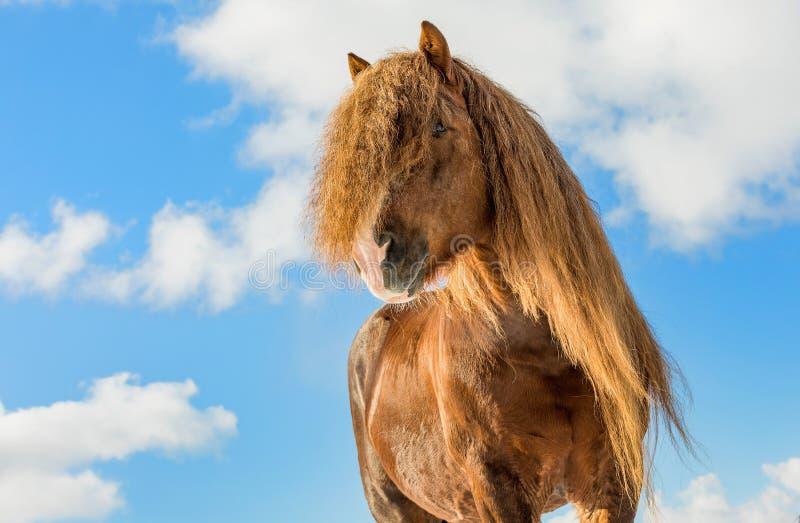 Agar, Bohemian-Moravian Belgian horse in sunny day in winter. Czech Republic royalty free stock photo