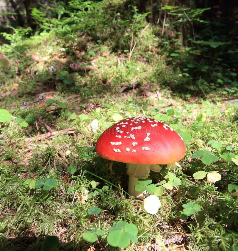 Agaric de mosca do cogumelo fotografia de stock royalty free