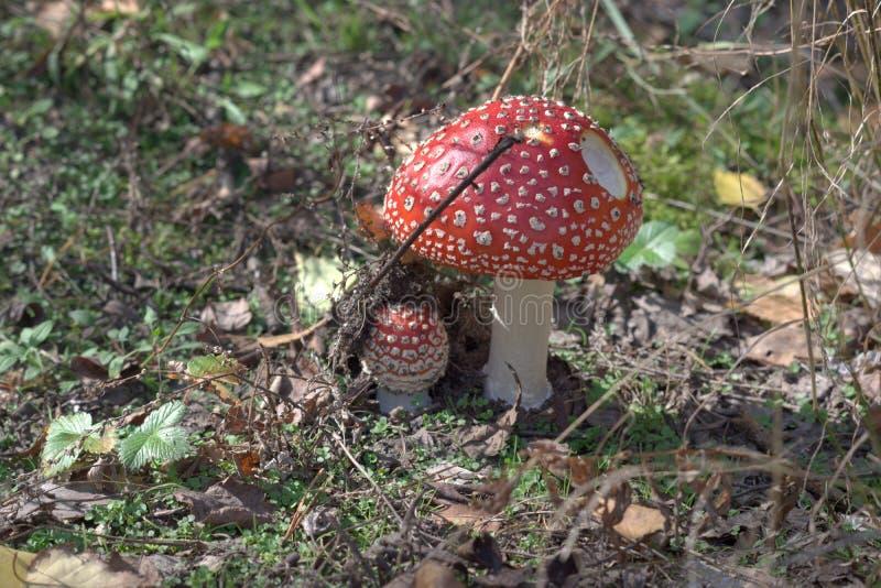Agaric de mosca, facilmente cogumelo reconhecível na clareira ensolarada, amo fotos de stock