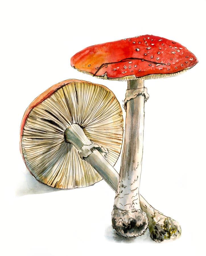 Agaric de mouche deux, un champignon toxique, croquis tiré par la main d'aquarelle, illustration libre de droits