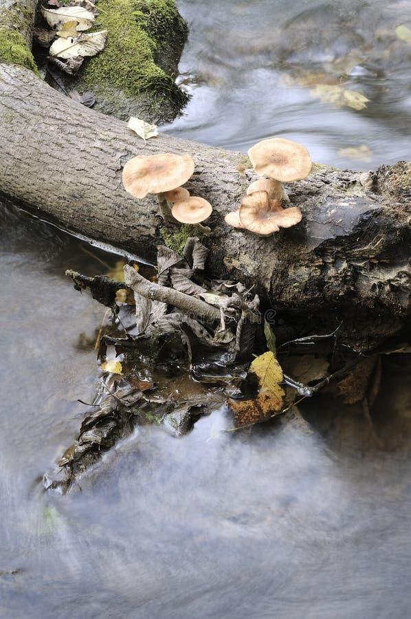 Download Agaric honey fungus stock image. Image of agaric, yellow - 21507701