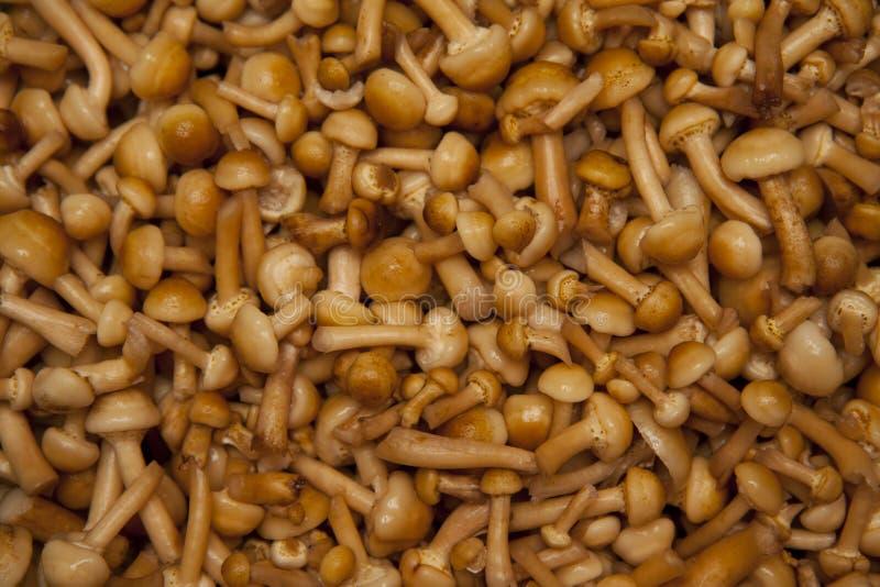 Agaric mushrooms royalty free stock photography