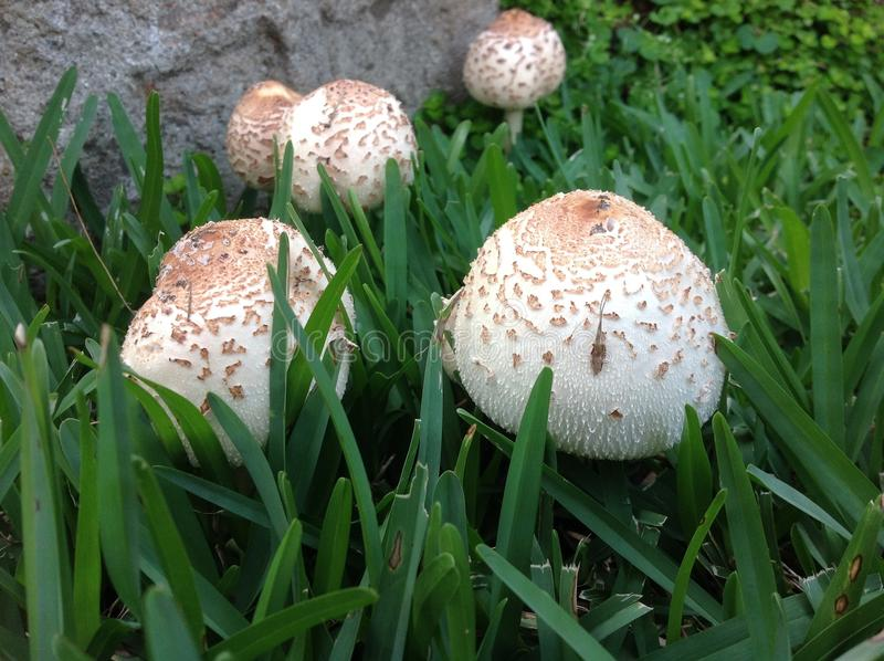Μανιτάρι, μύκητας, Agaricaceae, Agaricomycetes στοκ φωτογραφίες με δικαίωμα ελεύθερης χρήσης