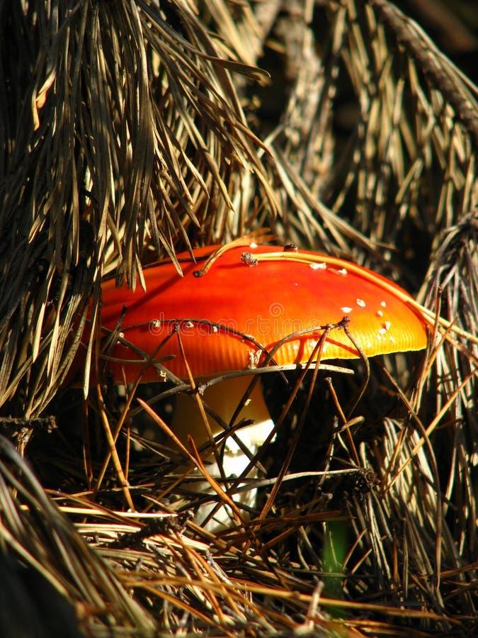 Agarico di mosca del fungo immagini stock libere da diritti
