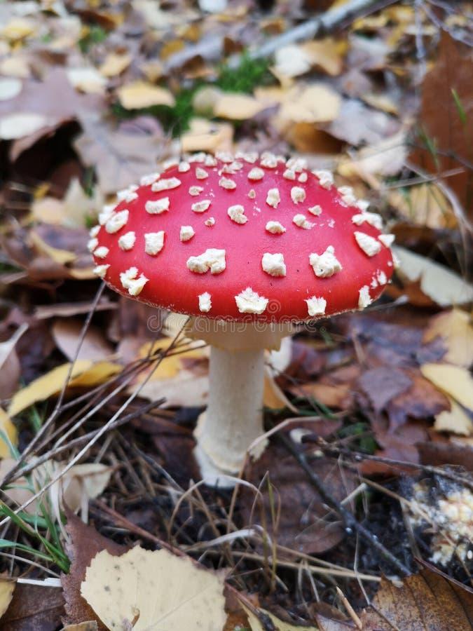 Agarico di mosca rosso Fungo tossico Muscaria dell'amanita Tooadstool nei colori di autunno della foresta Tooadstool rosso fra le fotografie stock libere da diritti