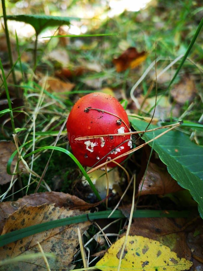 Agarico di mosca rosso, piccolo Fungo tossico Muscaria dell'amanita Fungo tossico Tooadstool rosso in erba, foglie di colore di a fotografia stock libera da diritti