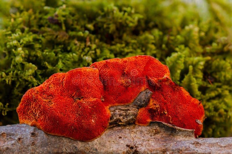 真菌,医药蘑菇,Agaricomycetes,有机体 免版税库存照片