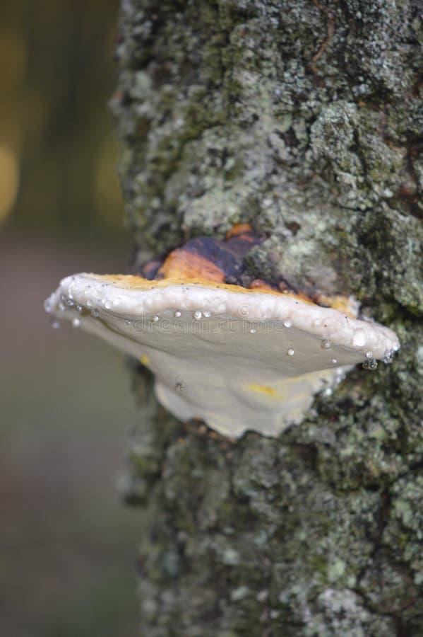 真菌,医药蘑菇,蚝蘑,Agaricomycetes 图库摄影