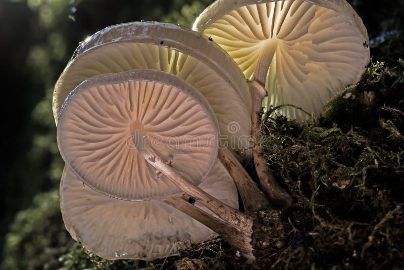 伞菌科,落叶松蕈,Agaricomycetes,真菌 免版税库存照片
