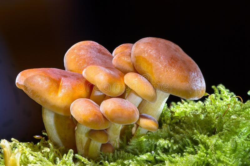 Μανιτάρι, μύκητας, εδώδιμο μανιτάρι, Agaricomycetes στοκ φωτογραφίες