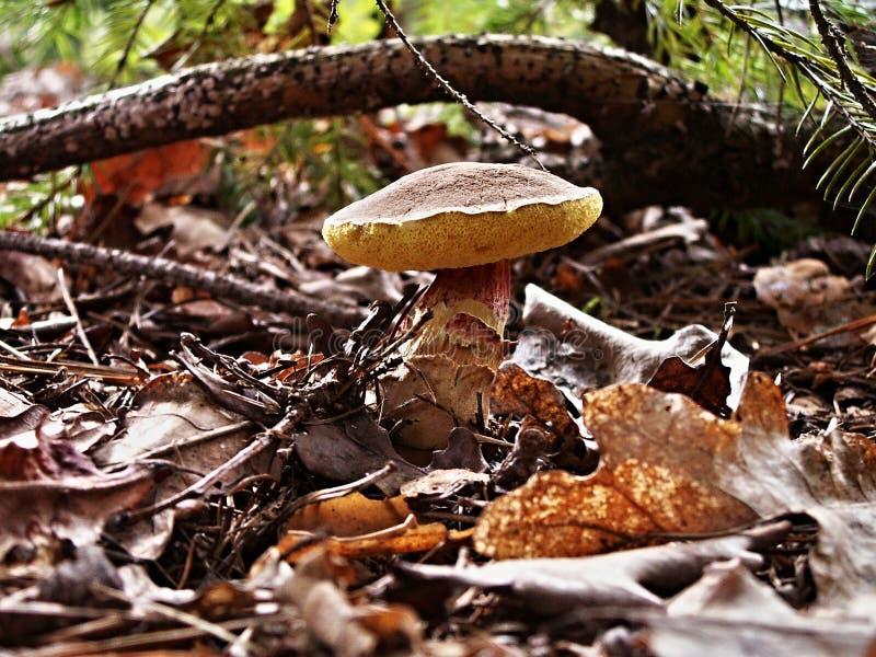 真菌,蘑菇,可食的蘑菇,Agaricomycetes 免版税库存图片