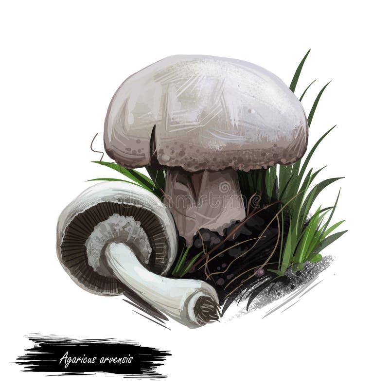 Agaricus arvensis horse mushroom, genus Agaricus. Edible fungus isolated on white. Digital art illustration, natural food, package. Label. Autumn harvest fungi stock image