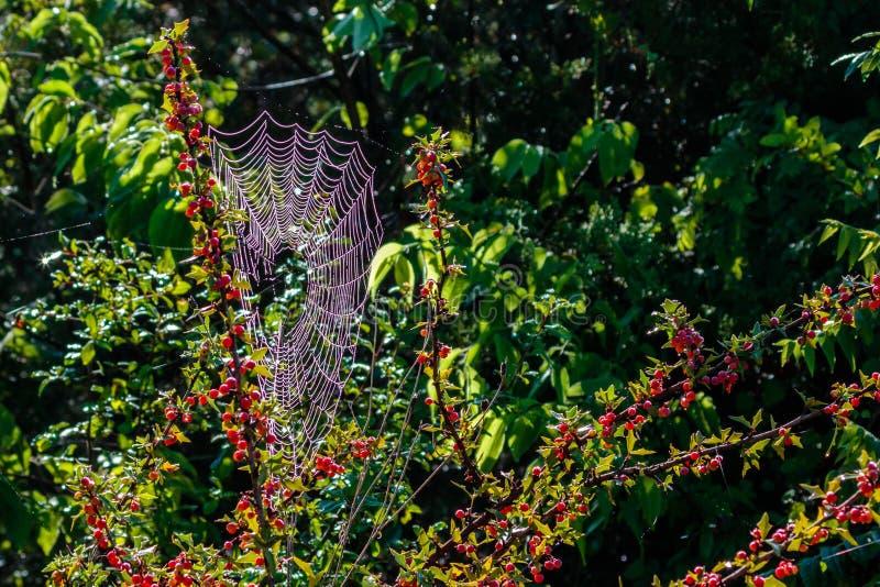 Agarita布什用红色莓果和蜘蛛网 免版税库存图片