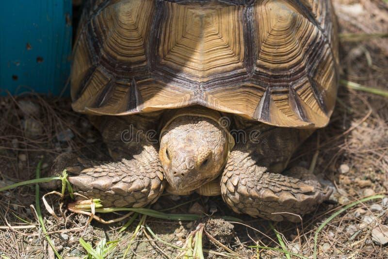 Agarramento da tartaruga fotos de stock