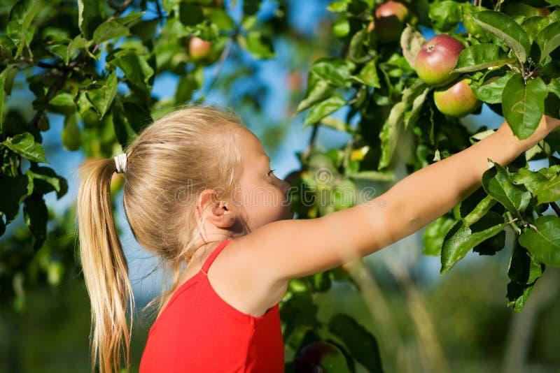 Agarrando a maçã foto de stock