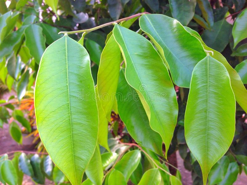 Agarwood (Aquilaria-malaccensis) stock foto