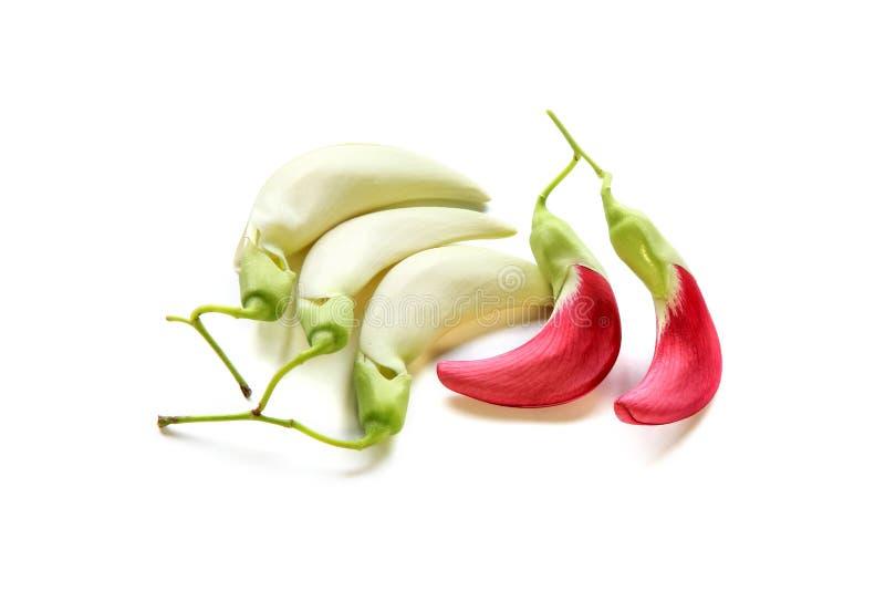Agasta rouge et blanc ou Sesbania grandiflora sur le fond blanc images libres de droits