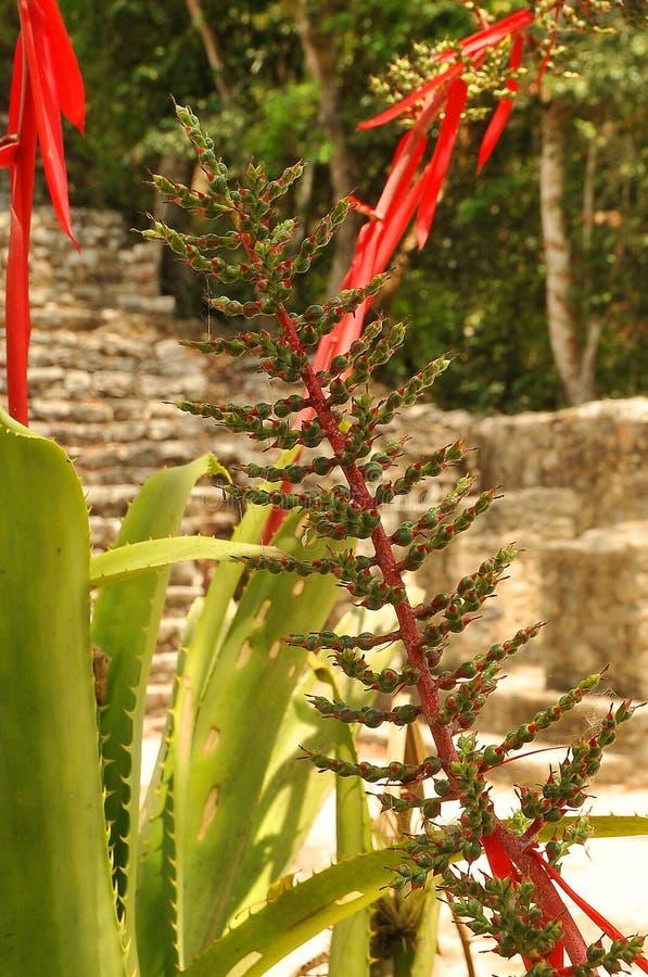 Agastache del Messico, sul modo all'ascensione della piramide di Coba fotografia stock