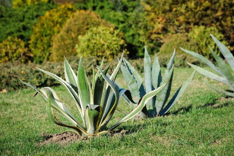 Agava в саде стоковая фотография rf