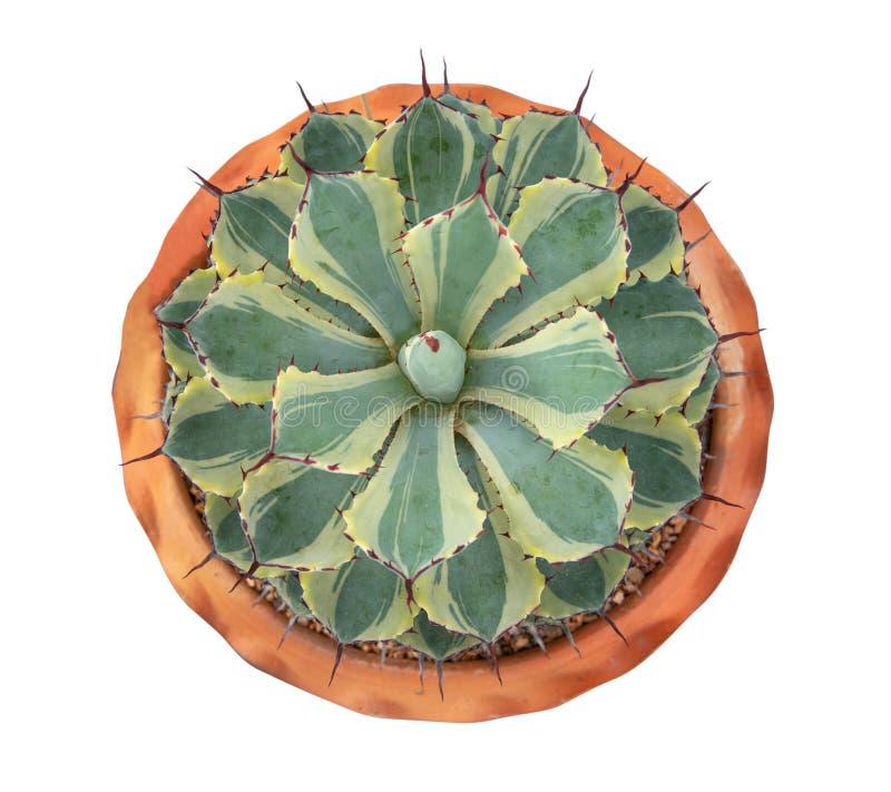 Agavaceae, Agavepotatorum Zucc geschakeerd - de hoogste mening isoleert op witte achtergrond stock afbeeldingen