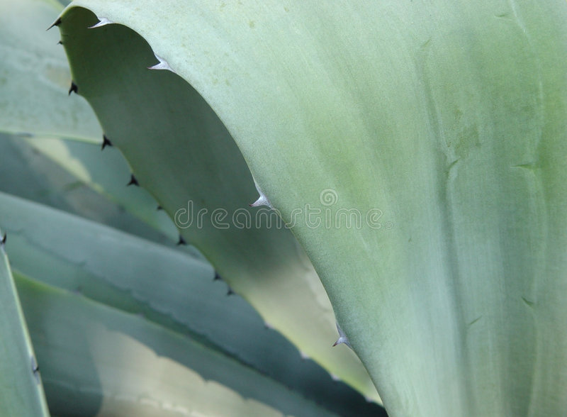 Download Agave stock photo. Image of thorn, tropics, southern, agave - 104384
